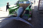cape verde tuna fish.jpg